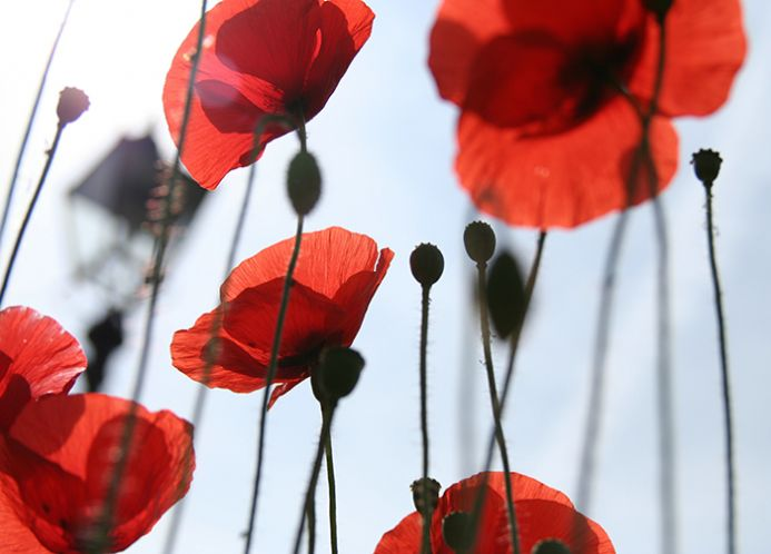 Red poppy home wall murals | Homewallmurals.co.uk